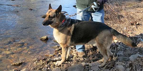 A very handsome shepherd, he is, Niko, the rescue-shepherd